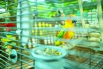 Aviary Styles for African Lovebirds