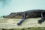 What is the Body Temperature of an Alligator?