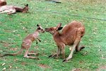 Red Kangaroos Diet