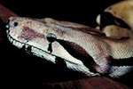 How Often Should You Clean a Boa Constrictor's Cage?
