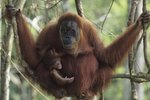 Facts on Orangutans Raising Their Young