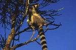 About the Lifestyle of the Ring-Tailed Lemur