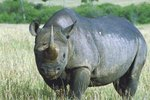 How Does a Rhinoceros Use Its Sense of Smell?