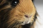 Guinea Pig With Cataracts
