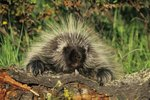 Where Do Porcupines Live in America?