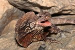 What Is Needed to Take Care of Frilled Lizards?