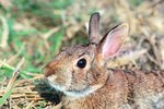 Jack Rabbit Vs. Cotton Tail