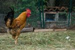 The Mating Behavior of Roosters