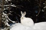 Hares That Live in the Tundra