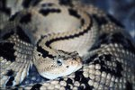 Type of Homes Rattlesnakes Live in