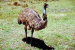 The Size of Emus Vs. Ostriches