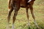 How Soon Are Foals' Legs Straight?
