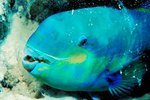 What Role Do Parrotfish Play in Reef Ecosystems?