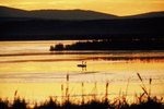 Facts About Tundra Swans