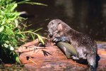 Is the River Otter an Omnivore?