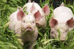 How to Get Rid of Pig Odor