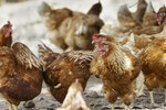 What Is the Age of a Pullet Chicken?