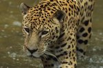 What Are Some Interesting Things About Jaguars?