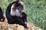 Facts About Lion Tailed Monkeys