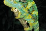 Mood Colors in a Panther Chameleon
