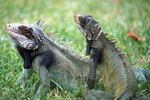 How to Raise Pet Iguanas