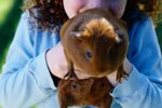 Can You Get Ringworm From a Guinea Pig?