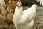 Information on Showing Chickens With 4H
