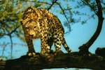 The Rainforest Leopard