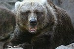 Differences Between Grizzly & Kodiak Bears