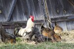 Do You Need a Rooster for a Hen to Lay Eggs?