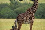 Giraffes & Their Young