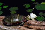 How Long Is the Painted Turtle's Life Span in Captivity?