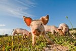 Which Kinds of Pigs Do I Want on My Farm?