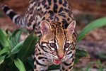 Sleeping Habits of Ocelots