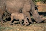 Interesting Facts on the Rhinoceros