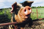 What Is the Function of a Pig's Small Cloven Hooves?