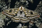 Why Do Moths Have Dust on Their Wings?