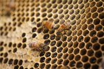 What Are the Causes of Endangered Honey Bees?
