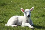 How to Control Scours in Baby Lambs