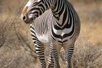 What Is the Purpose of Stripes in Zebras?
