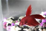 The Life Expectancy of Betta Splendens