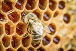 Social Structure of the Honey Bee