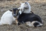 How to Raise Nigerian Dwarf Goats