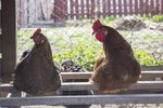 Chicken Coops & Respiratory Disease