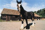 What Is a Clydesdale Draft Horse's Diet?