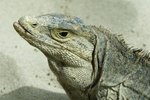 How Does a Lizard Being Cold Blooded Help It Live in the Desert?