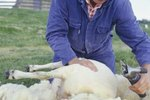 How to Hand-Shear a Sheep