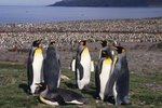 The King Penguin Breeding Cycle