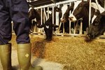 Can I Use a Cow Stanchion for Grooming?