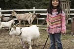 Signs to Look for When Your Pygmy Goat Is Ready to Give Birth